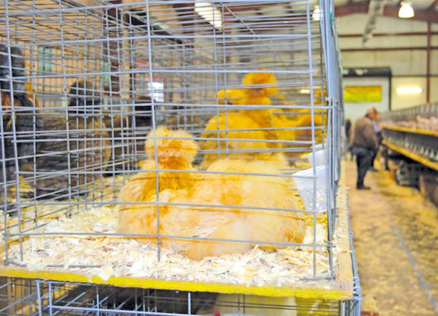 Coweta fairgrounds hosts poultry show and swap meet - The